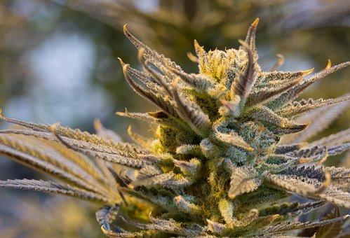tanie nasiona marihuany kolekcjonerskie