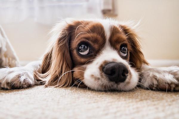 efektywna ochrona przeciw pchłom dla psa